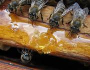 На пасеках Столинского лесхоза началась подкормка пчёл