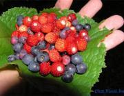 Пинский лесхоз предупреждает: заготавливайте только чистые ягоды!
