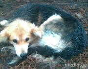 Раненая собака пятые сутки лежит у обочины дороги и умирает