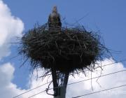 Энергетики избавляются от аистиных гнезд