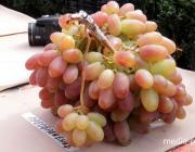 Самая тяжёлая гроздь винограда в Пинске