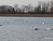 На Столинщину вернулись лебеди