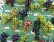 На Столинщине будут выращивать виноград и производить коньяк