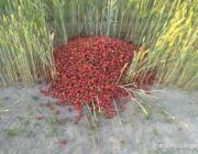 Фотография выброшенной в поле лунининчанами клубники дошла до президента