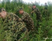 Больше тонны наркосодержащих растений уничтожили в Лунинецком районе