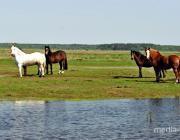 В Столинском районе лошадь заболела сибирской язвой