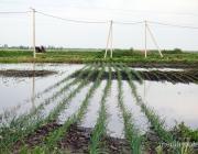 В Рубле спасают будущий урожай