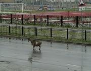 По Пинску бегала коза