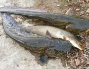 Пойманную рыбу следует отпустить обратно в воду