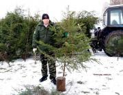 Почему Столинский лесхоз торгует новогодними ёлками, а Полесский – нет