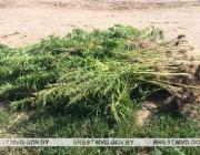 За месяц в Пинске уничтожили 300 килограмм конопли