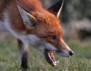 Пинск атакуют дикие лисы