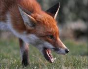 На Пинщине опять обнаружена бешеная лиса