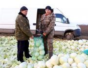 В Столинском районе закупочная цена на капусту упала до 10 копеек за килограмм