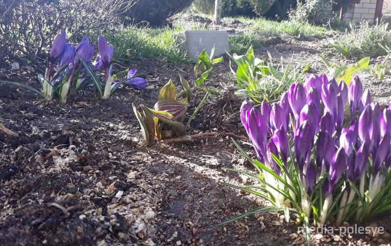 Во дворах лунинчан распустились первоцветы