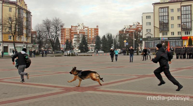 Служебная собака участвует в задержании