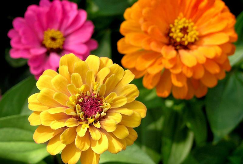 Циния. Фото: rastenievod.com