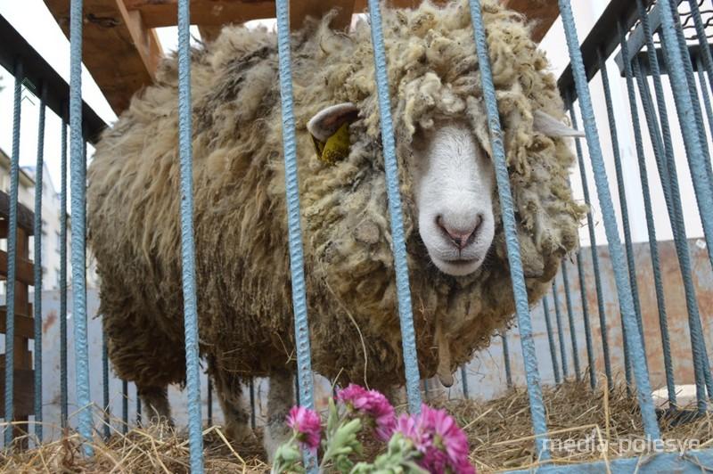 ГП Хвоецкое всегда радует покупателей живымм продуктом. Хоть овца, хоть гуси или утки, хоть кролики. всего в достатке
