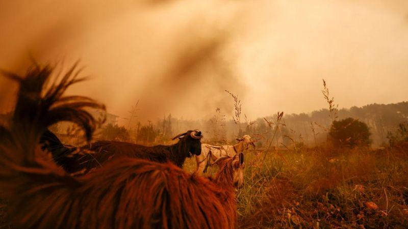 Огонь уничтожил более 20 жилых домов и фермы. Животные после эвакуации хозяев порой остаются в зоне пожара. По словам представителя администрации президента Турции Реджепа Эрдогана, в пламени погибло 150 коров и тысячи голов мелкого рогатого скота. Фото Anadolu Agency